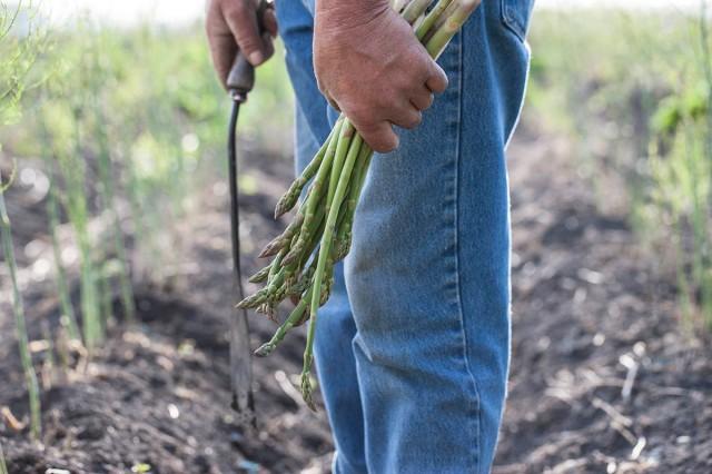 1303_asparagus_harvesting_001