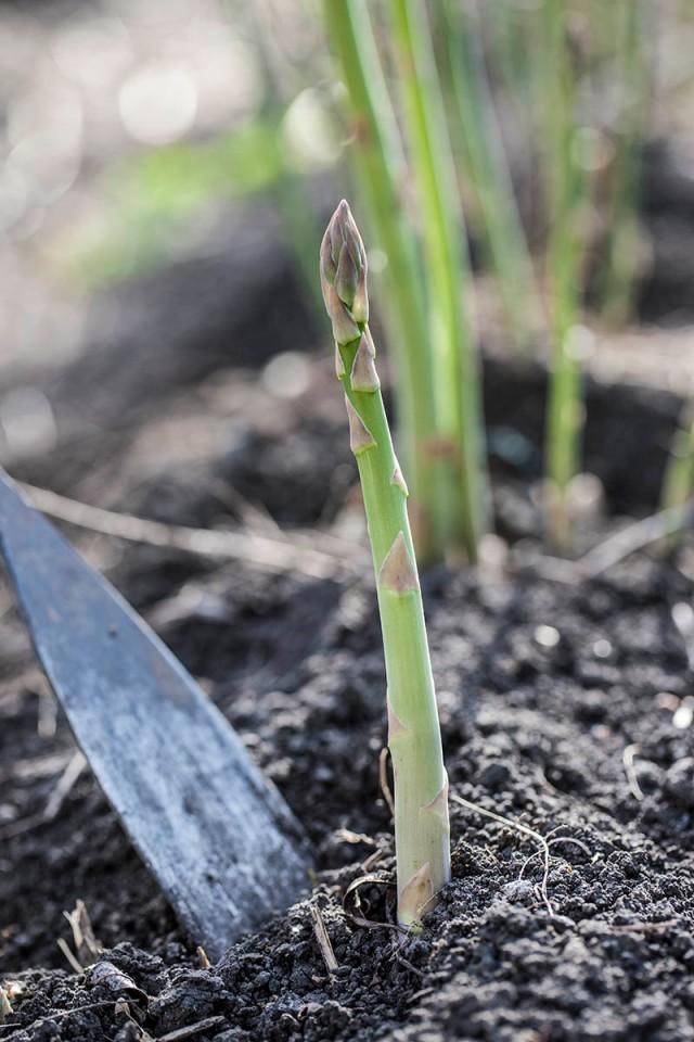 1303_asparagus_harvesting_002