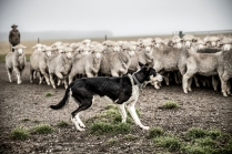 "©Tadd Myers - Graphis Photo Annual -""New Zealand Sheep Dogs"""