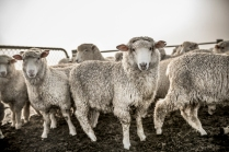 """©Tadd Myers - Graphis Photo Annual -""""New Zealand Sheep Dogs"""""""