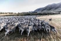 "©Tadd Myers - Communication Arts Photo Annual Award - ""New Zealand Sheep Dogs"""
