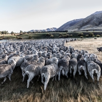 "©Tadd Myers - Communication Arts Photo Annual Award - ""New Zealand Sheep Dogs"""