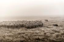 "©Tadd Myers - Rangefinder Award -""New Zealand Sheep Dogs"""