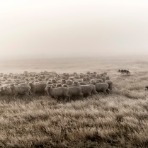 "©Tadd Myers - Rangefinder Award -""New Zealand Sheep Dogs"""